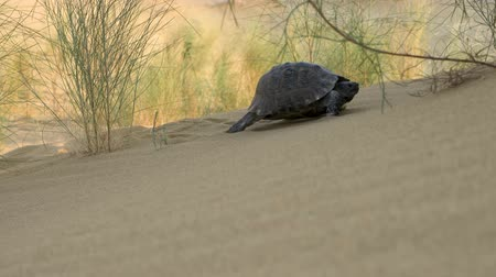 ползком : turtle crawling in the desert