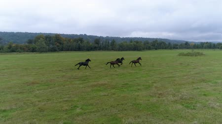 kobyla : Horses run across the field
