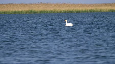 stěhovavý : The mute Swan bird (Cygnus olor) floats on the lake on a Sunny summer day.