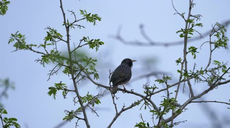 общий : European or common starling (Sturnus vulgaris) sits on a branch