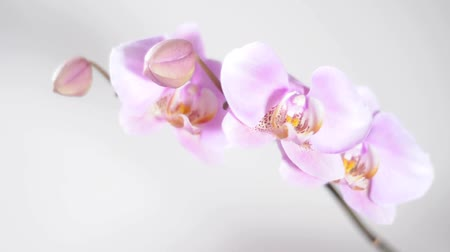 limpid : banch of pink orchid with lighting extent changing Stock Footage