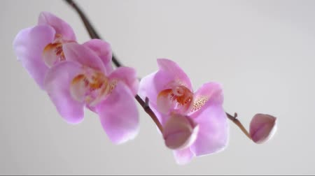 limpid : branch of pink orchid with changing focus Stock Footage
