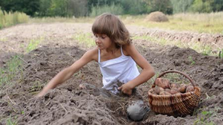 papa : child gathering potatoes in the field and playing Vídeos