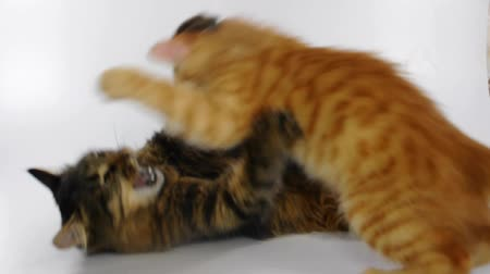 kotě : Two young cats playing and fighting. 4 parts sequence. Part 4.