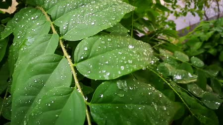 monção : Rain drops on green gooseberry leaves.