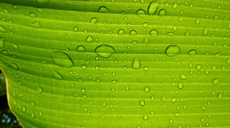 Water drop on green banana leaf after rain. Stock Footage