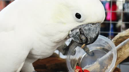A white parrot eating a sunflower seed from a plastic cup. Stock Footage