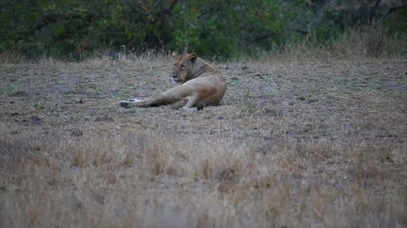 pretoria : CIRCA June 2013 - NELSPRUIT, KRUGER NATIONAL PARK ,SOUTH AFRICA - an evening shot of a female adult lion seen from an evening safari drive Stock Footage