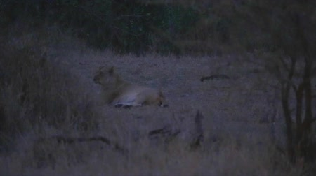 pretoria : CIRCA June 2013 - NELSPRUIT, KRUGER NATIONAL PARK ,SOUTH AFRICA - during an evening safari we need to use a light to spot a adult female lionannoyed Stock Footage