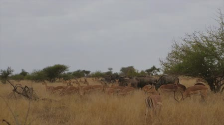 ouvido : CIRCA June 2013 - NELSPRUIT, KRUGER NATIONAL PARK ,SOUTH AFRICA - a moving shot of a heard of bushbuck and Blue wildebeest that scramble near the end of the clip