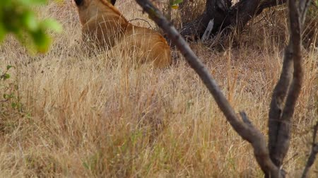 pretoria : CIRCA June 2013 - NELSPRUIT, KRUGER NATIONAL PARK ,SOUTH AFRICA - a great clear shot of an adult female lion resting from behind Stock Footage