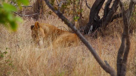 pretoria : CIRCA June 2013 - NELSPRUIT, KRUGER NATIONAL PARK ,SOUTH AFRICA - side shot of an adult female lion licking something Stock Footage