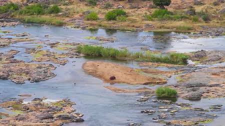 pretoria : CIRCA June 2013 - NELSPRUIT, KRUGER NATIONAL PARK ,SOUTH AFRICA - a wide shot of a hippo spotted in the olifant river bank from the viewing platform