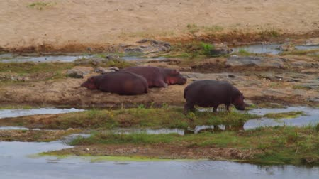 pretoria : CIRCA June 2013 - NELSPRUIT, KRUGER NATIONAL PARK ,SOUTH AFRICA - 2 hippos rest with birds on them while another drinks water at a riverbank