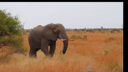 pretoria : CIRCA June 2013 - NELSPRUIT, KRUGER NATIONAL PARK ,SOUTH AFRICA - a nice clear shot of an elephant eating grass on the plains of Kruger national park Stock Footage