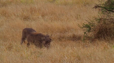 pretoria : CIRCA June 2013 - NELSPRUIT, KRUGER NATIONAL PARK ,SOUTH AFRICA - a stylish warthog eats some grass in the african plains