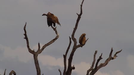 pretoria : CIRCA June 2013 - NELSPRUIT, KRUGER NATIONAL PARK ,SOUTH AFRICA - a medium shot of a group of vultures in the tree Stock Footage
