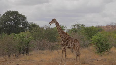 pretoria : CIRCA June 2013 - NELSPRUIT, KRUGER NATIONAL PARK ,SOUTH AFRICA - a wide shot of a giraffe in an open field eating