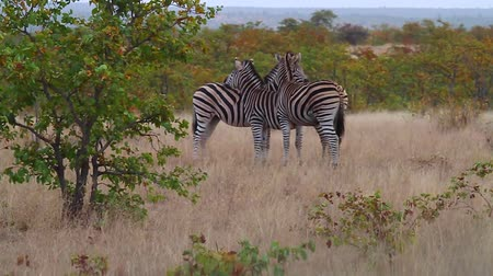 pretoria : CIRCA June 2013 - NELSPRUIT, KRUGER NATIONAL PARK ,SOUTH AFRICA - a group of 3 zebras show each other affection
