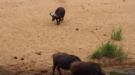 pretoria : CIRCA June 2013 - NEILSPRUIT, KRUGER NATIONAL PARK ,SOUTH AFRICA - an african buffalo walkings down the a sandy riverbank to join two others to drink