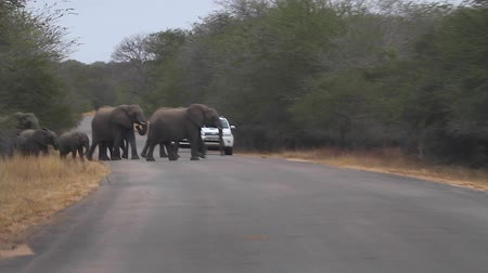 pretoria : CIRCA June 2013 - NEILSPRUIT, KRUGER NATIONAL PARK ,SOUTH AFRICA - a baboon scurries away while a family of 5 elephants cross the road while cars wait Stock Footage