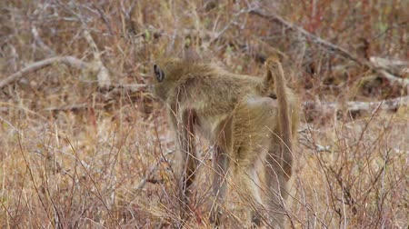pretoria : CIRCA June 2013 - NEILSPRUIT, KRUGER NATIONAL PARK ,SOUTH AFRICA - a close shot of the baboon from behind and side behind some bush