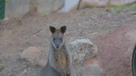 wallaby : Cute wallaby eats in front of the camera