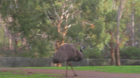 pštros : a cleland national park emus (similar to ostrich) eats something on the ground