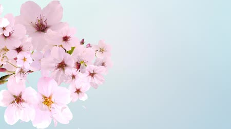 flower : cherry blossom, blooming, blue background