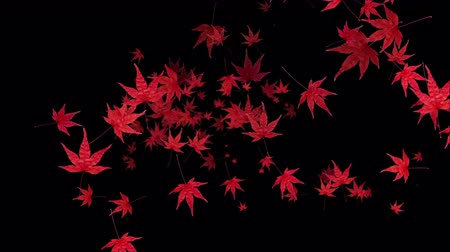 Red momiji leaves are blooming along the trajectory, in black background Vídeos