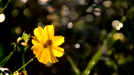 compositae : Cosmos Sulphureus  Flower and Bee.