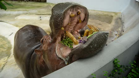 hippos : hippopotamus eating vegetable in a zoo
