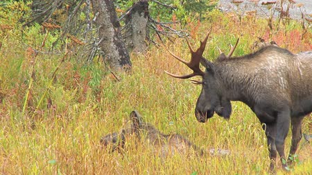grand tetons : two moose in meadow