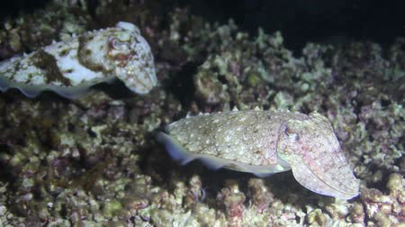 cuttlefish : two squid hovering seabed