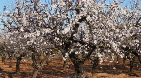 хрупкость : Flowering of almond flowers in the spring time on the plantation