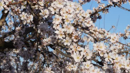 Вишневое дерево : Flowering of almond flowers in the spring time on the plantation