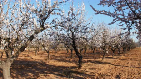 bibe : Flowering of almond flowers in the spring time on the plantation