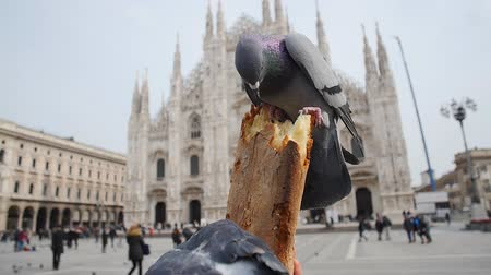 piazza del duomo : Pigeons eat bread on the Duomo Cathedral Milan Stock Footage