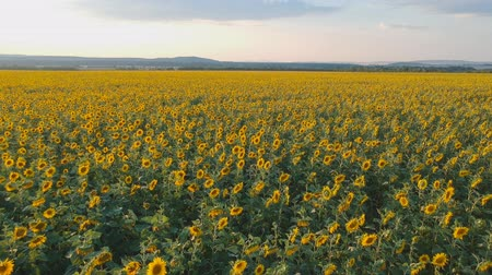 prospective : Agriculture concept. Aerial shooting field of sunflowers in summer. Stock Footage