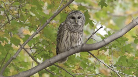 taking flight : A Barred Owl (Strix varia) takes flight from a Maple tree branch on an Autumn afternoon. Stock Footage
