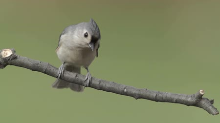 ave canora : A Tufted Titmouse (Baeolophus bicolor) perches on a tree limb in Autumn.
