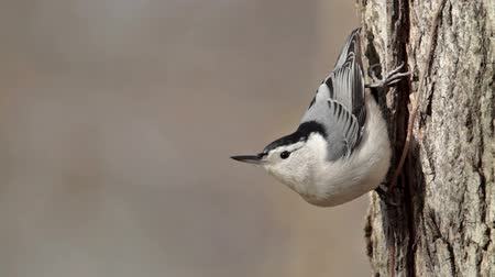 ave canora : A White-breasted Nuthatch (Sitta carolinensis) clings upside down to the side of a tree.