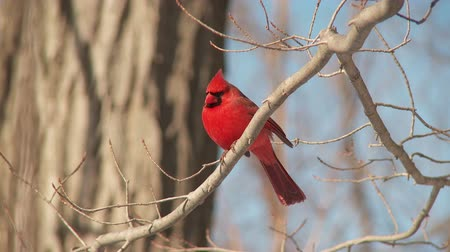 omurgalı : A male Northern Cardinal (Cardinalis cardinalis) perches on a tree branch on a sunny winter day. Stok Video