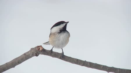 ave canora : A Black-capped Chickadee (Poecile atricapillus) perches on a tree limb and takes flight in winter.