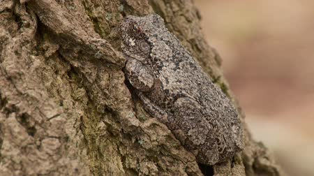 toad : A Gray Treefrog (Hyla versicolor) perches at the base of a tree trunk during the spring breeding season.