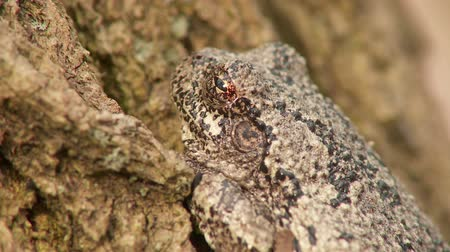 hylidae : A Gray Treefrog (Hyla versicolor) perches at the base of a tree trunk during the spring breeding season.