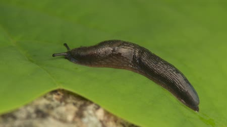 folha : A Garden Slug (Arion hortensis) moves across a leaf in spring.