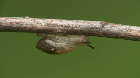 земной : An Oval Ambersnail (Novisuccinea ovalis) moves slowly across the underside of a twig in spring.