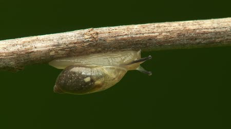 salyangoz : An Oval Ambersnail (Novisuccinea ovalis) moves slowly across the underside of a twig in spring.