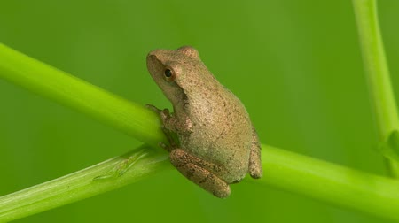 toad : A Spring Peeper (Pseudacris crucifer) perches on low vegetation on a summer morning.